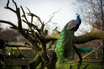 Photo sur Toile Paon Bright male peacock sitting on a bench