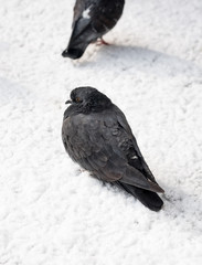 Pigeons sitting on a ground covered in snow