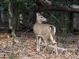 deer doe turning around