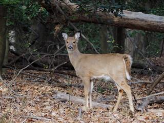 alert deer doe