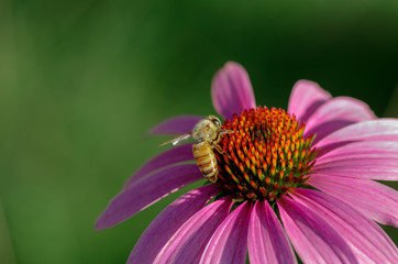 Summer bee resting on pink coneflower