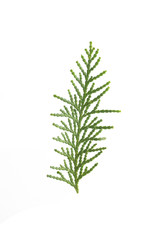 twig of cypress on a white background