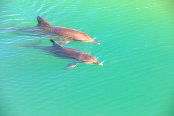 Two cute dolphins swim in clear waters of Monkey Mia, a marine reserve near Denham, Shark Bay, on coral coast in Western Australia. Monkey Mia is the only place in Australia visited daily by dolphins.