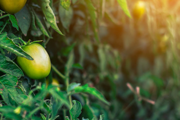 Close up tomato green graden.