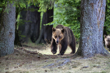Big bear outcoming from the forest in Romania, Lake St Ana.