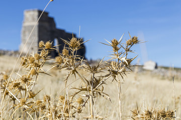Dried cotton thistle flowes with the Roman theatre of the archaeological site of the ancient city of Acinipo unfocused in the background. Ronda, Province of Malaga, Andalusia, Spain
