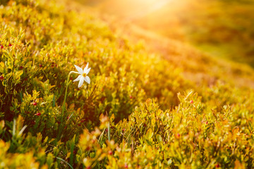 Single white flower of wild narcissus among blueberry bushes on the sunny mountain slope, natural seasonal travel outdoor background