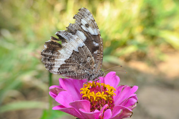 The Great Banded Grayling butterfly on Flower. Butterfly collect nectar in garden