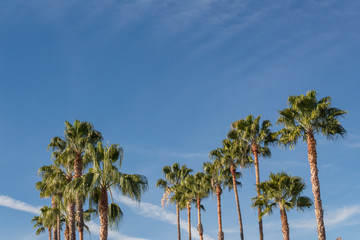 Background with numerous Washingtonia fan palm trees set against a bright blue sky, copy space, horizontal aspect