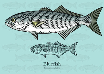 Bluefish. Vector illustration with precise details and optimized stroke that allows the image to be used in small sizes (in packaging design, decoration, educational graphics, etc.)