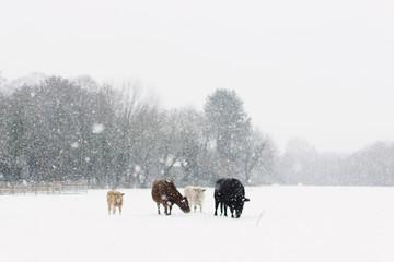 Cows in snowfall