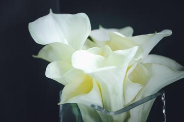 white flowers calla on black background. Closeup, soft focus.