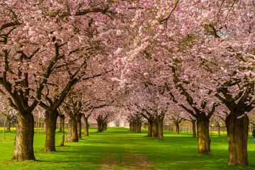Beautiful cherry blossom avenue in the Schwetzingen garden, Germany.
