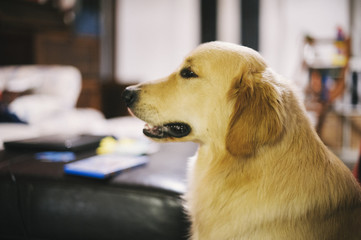 portrait of golden retriever dog at home