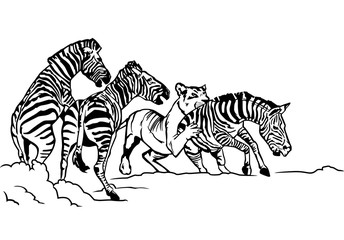 lioness hunting zebra illustration
