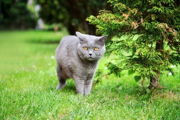 British shorthair cat outdoors.