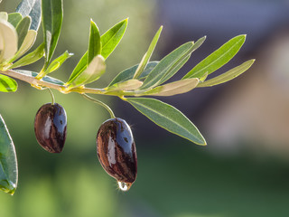 Drop of olive oil falling from berry and glittering in the sun. Nature background.