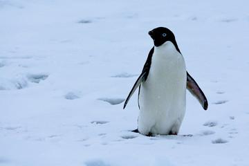 Adelie penguin antarctica 2