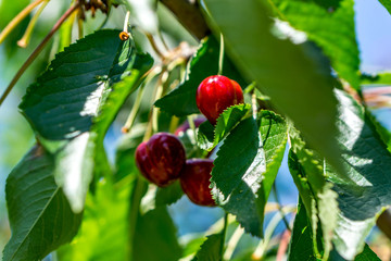 Close up of a twig with fresh juicy cherries. Shallow depth of focus. Concept farming.
