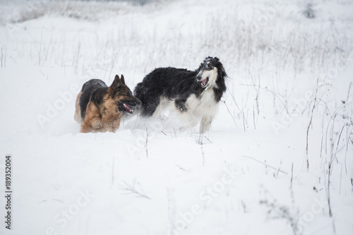 German Shepherd And Black With White Russian Borzoi Game In The Snow