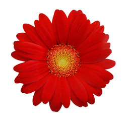Garden Poster Gerbera Red daisy on white background