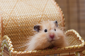 Surprised fluffy Syrian hamster peeking out of a basket