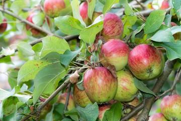 Grün-rote Bio-Äpfel hängen am Apfelbaum, Niedersachsen, Deutschland, Europa