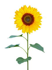 sunflower (Helianthus annuus) with green trunk and leaves isolated on white background, clipping path included