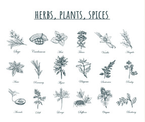 Herbs, plants and spices vector illustration.