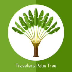 Travelers palm tree. Illustration of exotic tropical plant