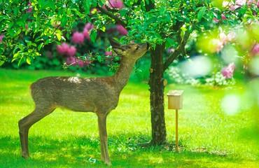 Papiers peints Roe Europäisches Reh (Capreolus capreolus) knabbert in einem Garten von den Blätter eines Apfelbaums, Niedersachsen, Deutschland, Europa