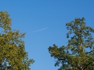 Low angle view into oak tree tops with sky and plane