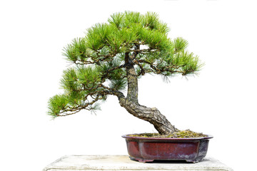 Foto op Plexiglas Bonsai Pine Bonsai Isolated on White Background