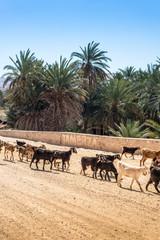 Livestock near Tamaqzah in Tozeur, Tunisia.