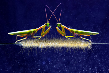 Mantis Two face to face blue background Wallpaper