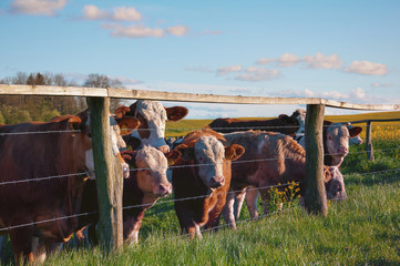 Brown cows behind fence
