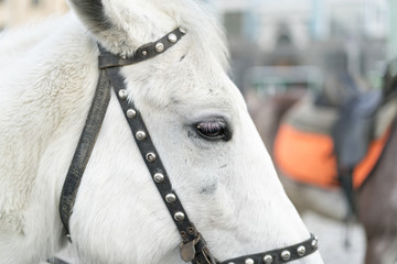 The white head of a horse. Close-up