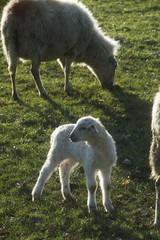 Foto auf Gartenposter Schaf Schapen met lammeren in de wei in het voorjaar