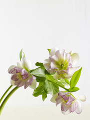Hellebore Peppermint Ice