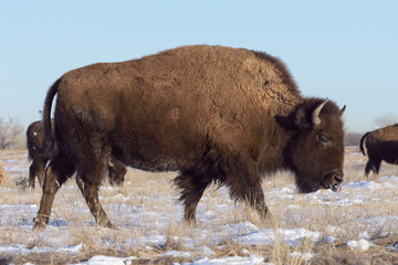 American Bison Bull - Genetically Pure Specimen
