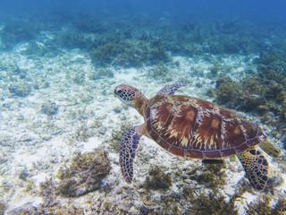 Green turtle in tropical sea shore. Marine tortoise underwater photo.