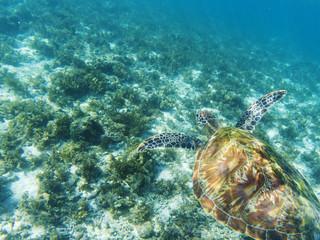 Sea turtle swims above sea bottom. Tropical seashore underwater photo.