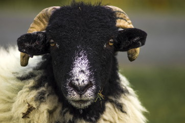 Swaledale Sheep.