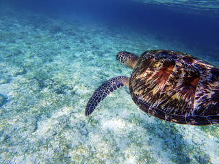 Sea turtle above white sand sea bottom. Coral reef animal underwater photo.