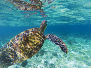 Sea turtle dives up to breathe. Coral reef animal underwater photo.