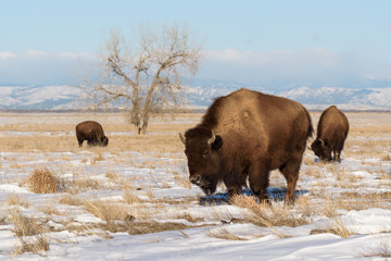 American Bison On the Plains of Colorado - Genetically Pure Specimens