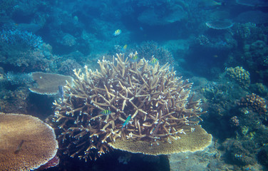 Coral fish in tropical seashore underwater photo. Coral reef animal.