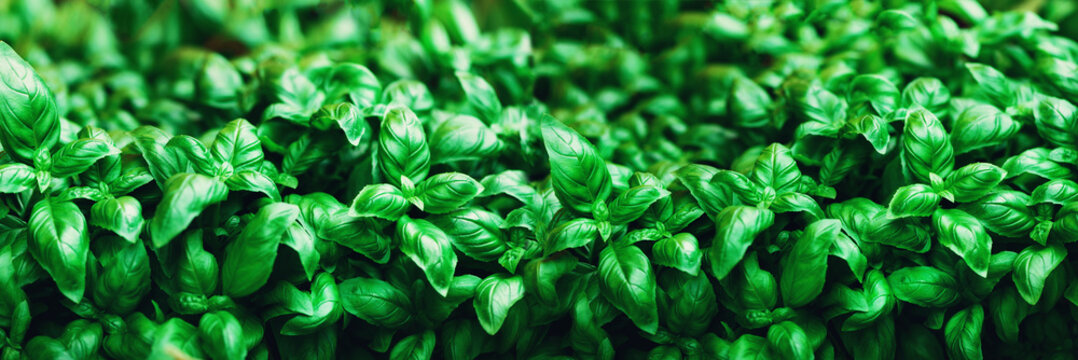 Fresh basil background. Green banner. Food and clean eating concept. Copy space