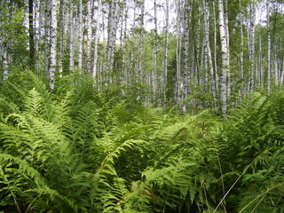 forest fern and birch
