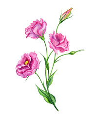 Pink Eustoma, watercolor. Hand drawing: a bouquet of pink flowers on a white background, isolated with clipping path.